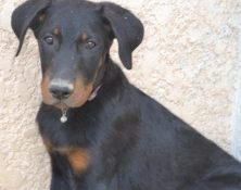 bb-beauceron-jena